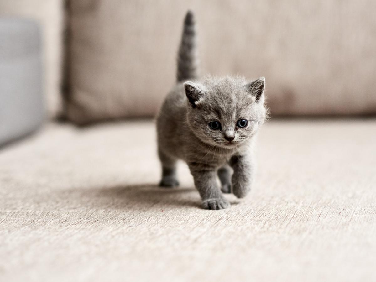 kitten lagi jalan