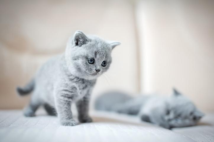 kitten terpana